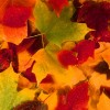 The science behind fall color
